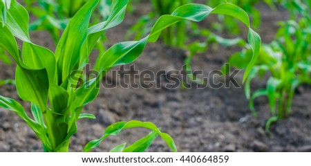 young corn in the garden - stock photo