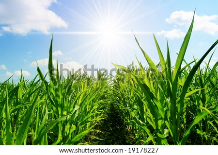 young corn on a background a bright sun - stock photo