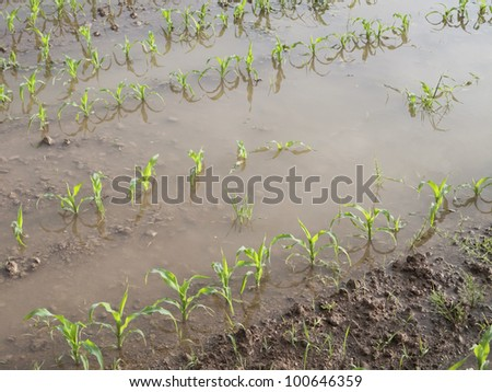 Young corn plants in a flooded field - stock photo
