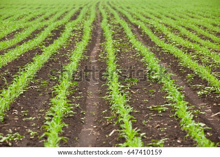 Young corn plants in rows in a field