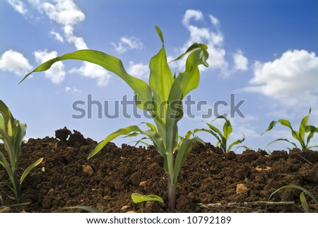 young corn plants in the field and clouds - stock photo