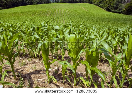 Young corn plants in the foreground of the large corn field. - stock photo