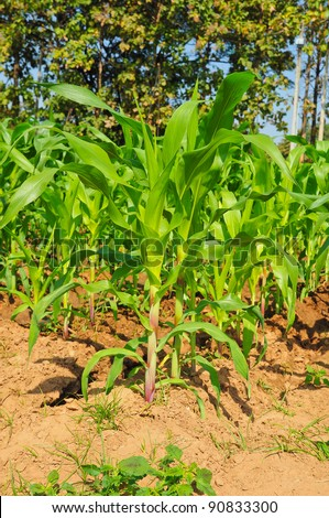 young corn tree - stock photo