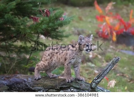 Young cougar, mountain lion, puma or panther cub learning to balance on a log. - stock photo