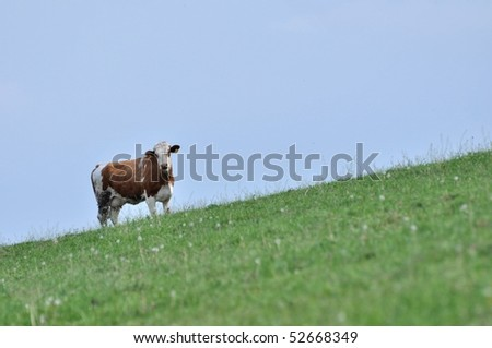 young cow against blue sky - stock photo
