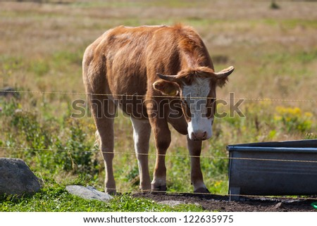 Young cow behind the wire fence - stock photo