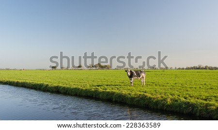 Young cow curiously looking to the photographer in a Dutch polder landscape on a sunny day in the autumn season. - stock photo