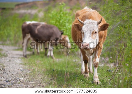 young cow grazing on nature - stock photo