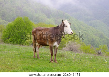 Young cow on mountain meadow in foggy day  - stock photo