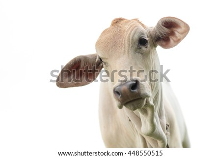 Young cow portrait isolated on white background - stock photo