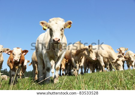 Young cows - stock photo