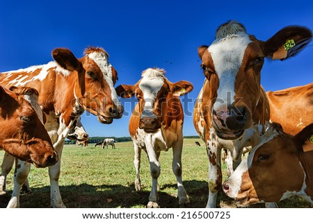 Young cows at summer field - stock photo