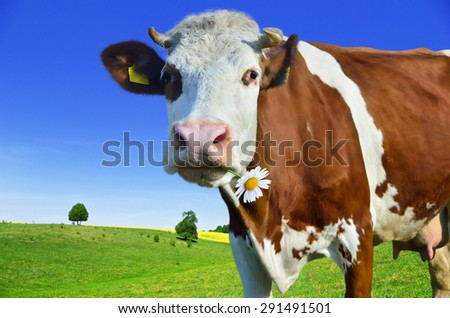 Young cows grazing on a green meadow - stock photo