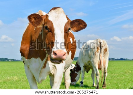 young cows om farmland - stock photo