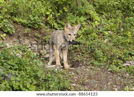 Young coyote at his den site - stock photo
