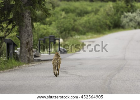 Young Coyote Waking Down Road in Banff National Park - stock photo