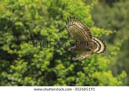 Young Crested serpent-eagle(Spilornis cheela) flying at kangkrachan national park ,Thailand - stock photo