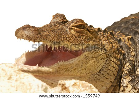 Young Crocodile - stock photo