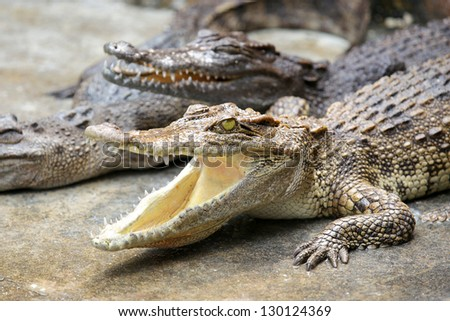 Young crocodile looks in the camera. - stock photo
