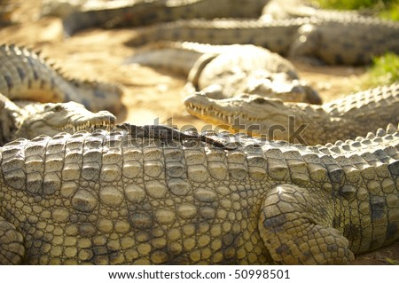 Young crocodile sitting on the back of its mother crocodile - stock photo
