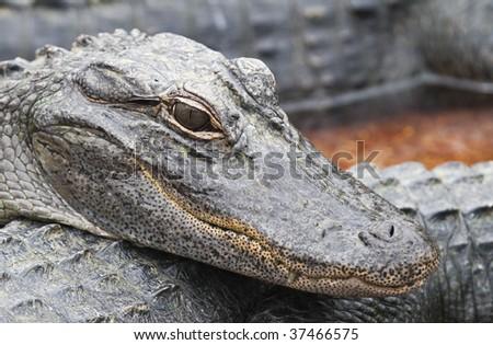 Young crocodiles in Florida Keys - stock photo
