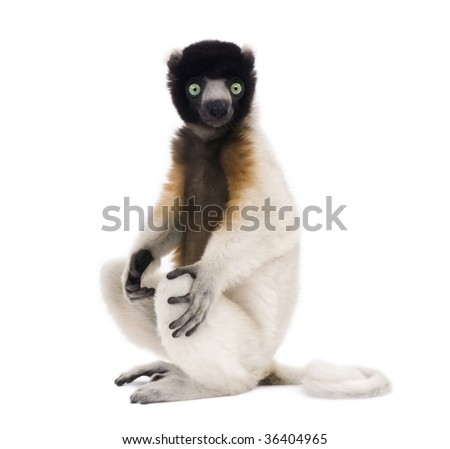 Young Crowned Sifaka, Propithecus Coronatus, 1 year old, sitting in front of white background, studio shot - stock photo