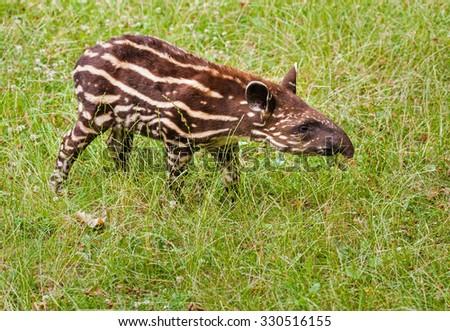 Young cub of the endangered South American tapir (Tapirus terrestris)  - stock photo