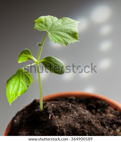 Young cucumber plants - macro shot