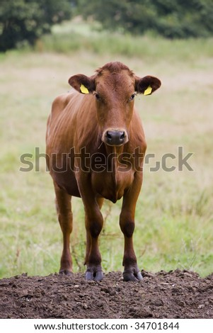 Young curious heifer is looking at you - stock photo