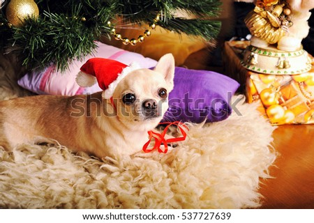Young cute chihuahua dog in Santa hat lying on a fur, looking at camera