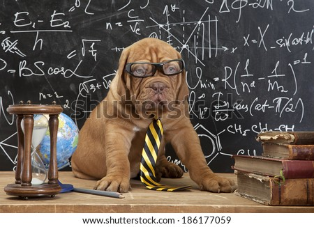 Young cute dog in front of blackboard during a math class. Dogue de Bordeaux Puppy  (French mastiff).  - stock photo