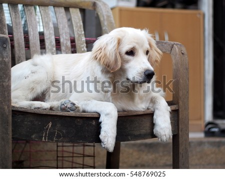 young cute lovely crossbreed dog looks like small Golden Retriever breed pastel beige colour long fur black eyes laying on wooden chair outdoor makes sleepy face selective focus blur background