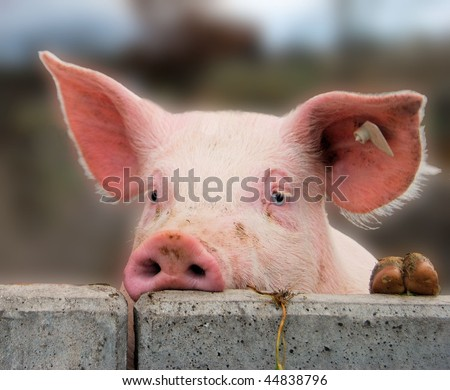 Young cute pig overlooking a concrete wall - stock photo