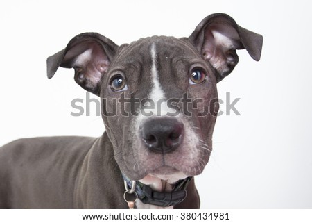 Young cute pit bull puppy dog mix portrait isolated - stock photo