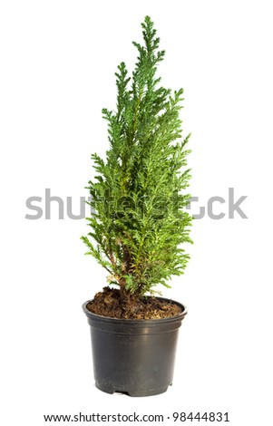 Young cypress isolated on white - stock photo