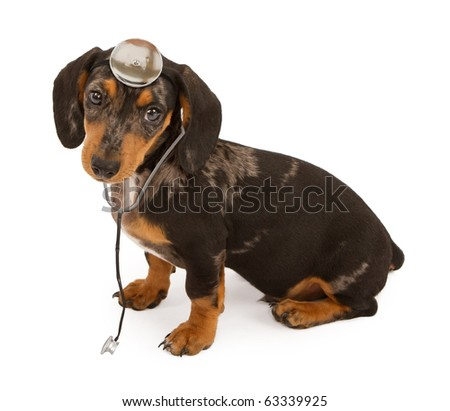 Young dachshund puppy sitting down and isolated on white - stock photo