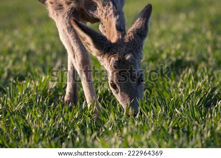 Young deer eating the grass at the morning