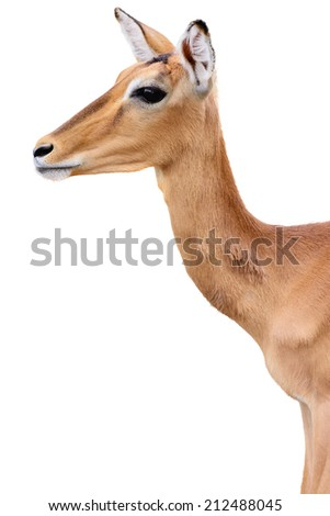 Young deer head isolated on white background - stock photo