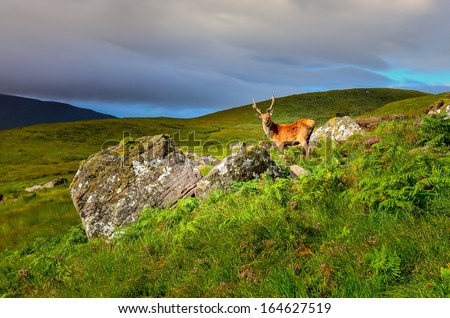 Young deer in the meadow at Scottish highlands, Scotland, United Kingdom - stock photo