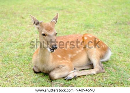 Young deer lies on green grass - stock photo