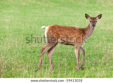 young deer on green grass - stock photo