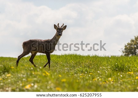 Young deer on the green field in a spring time