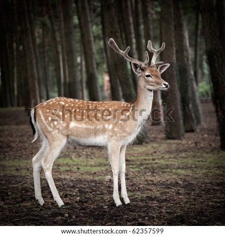 young deer posing in the forest, germany - stock photo
