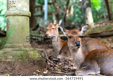 Young deers resting in Nara Park surrounded by traditional stone lanterns. Shallow DOF.