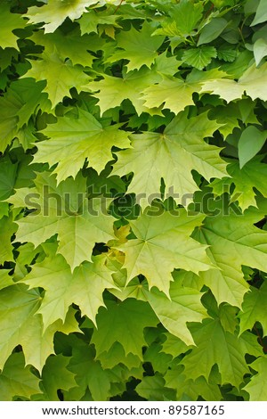 Young delicate leaves of maple in the spring season - stock photo