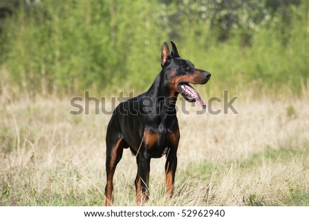 young doberman dog male standing on spring grass meadow