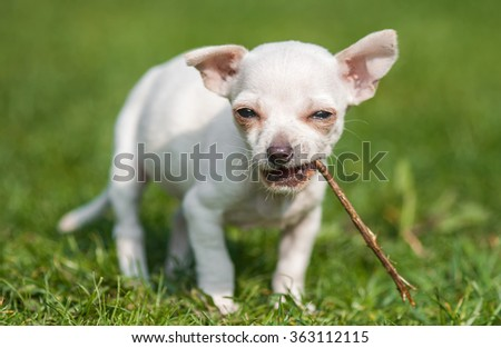 Young dog Chihuahua sitting on the grass