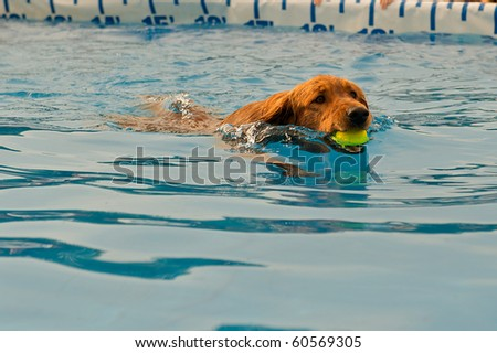 Young dog fetching a ball in the water. - stock photo