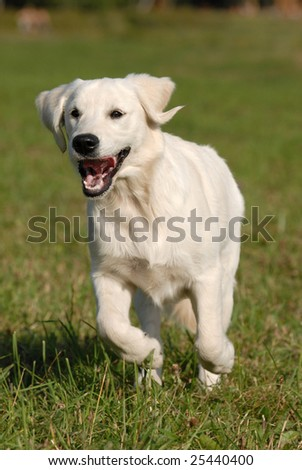Young dog - golden Retriever runing by the grass - stock photo
