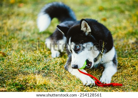 Young Dog Husky Puppy Plays With Her Toy - Tennis Ball In Grass. Outdoor - stock photo